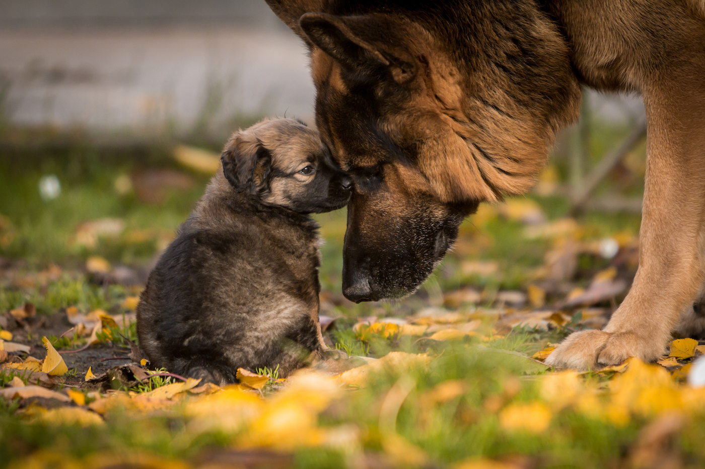 Mama pup booping her puppy on the nose