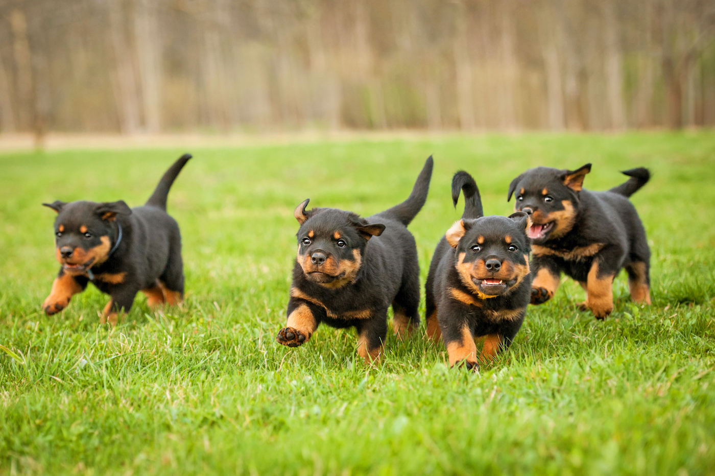Four tiny Rottweiler puppies frolicking on a lawn