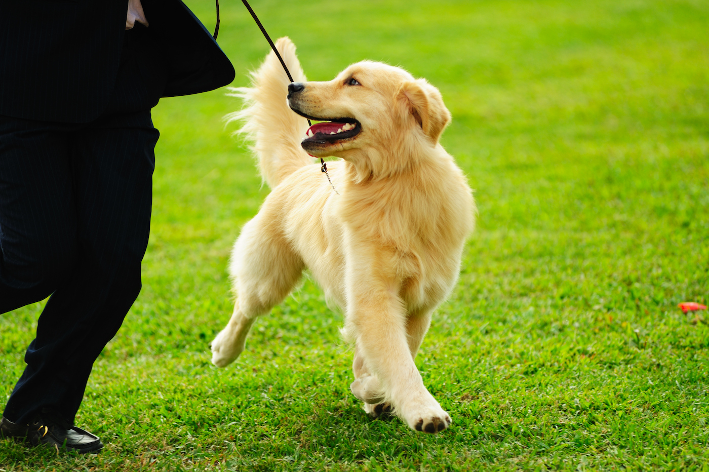 A young adult dog playing with their owner on a beautiful green lawn